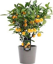Citrus Mitis «Calamondin»   Oranger   Plante