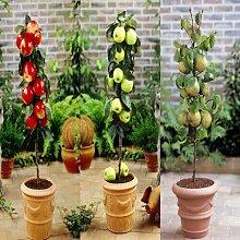 Collection arbre nain * Pomme rouge, poire, pomme