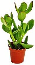 Crassula portulacea - Geldbaum - im 8,5cm Topf