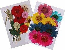 dailymall 2 Set Fleur Pressée Feuille Séchées