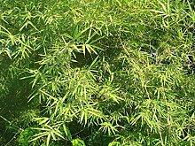 Dendrocalamus strictus - Bambou Mâle - 20 Graines