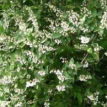 Deutzia (Deutzia scabra) Jeune plant en godet