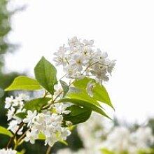Deutzie grêle (Deutzia gracilis) Jeune plant en