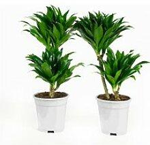 Dracaena fragans compacta - 2 plantes - plante