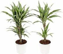 Dracaena Fragrans 'Warneckii' - 2 plantes -