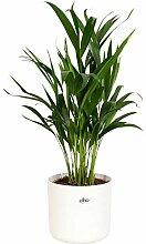 Dypsis Lutescens | Palmier Areca | Plante verte