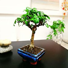 Easy Plants® Fukien Arbre à thé Bonsaï Forest