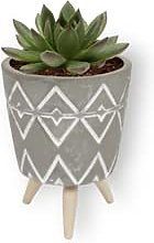 Echeveria plante - Echeveria Agevoides - plante
