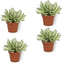 Ensemble de 4 plante Crassula ''Money