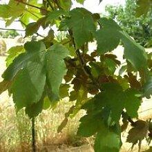 Erable sycomore (Acer Pseudoplatanus) Jeune plant