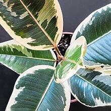 Ficus Elastica Tineke en pot 30-40 cm   Vente