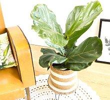 Ficus Lyrata facile d'entretien avec cache-pot