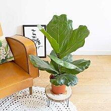 Ficus Lyrata facile d'entretien sans cache-pot