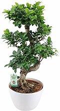 Ficus microcarpa Ginseng XL | Bonsaï | Plante