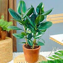 Ficus Robusta – Arbre à caoutchouc   Plante