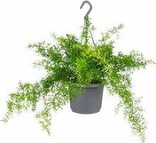 Floraya - Asparagus 'Sprengeri' - Plante