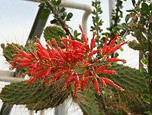 Fouquieria diguettii - Adams Tree - 5 graines,