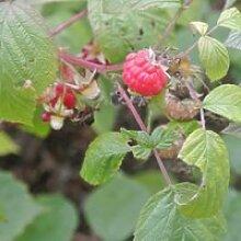 Framboisier (Rubus Idaeus) Jeune plant en godet