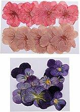 freneci 22x Pressé Naturel Séché Fleur