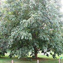 Genipap 10pcs plante Aesculus chinensis pour arbre