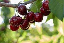 Genipap 15 graines d'arbre fruitier cerise