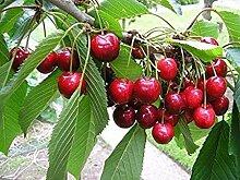 Genipap Bing Sweet cherry bon pour les desserts et