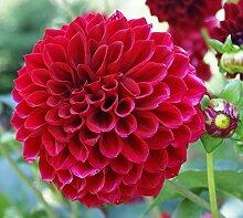 Genipap Dahlia Fleurs 100 pcs Facile à Cultiver