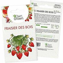 Graines de fraises : Semences de plant de fraise