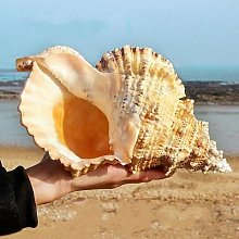 Grande coquille de conque, décoration Marine,
