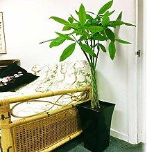 Grande plante traditionnelle à feuilles