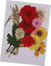Harilla 1 Lot de Fleurs Séchées Pressées de