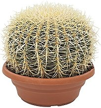 Hellogreen Plante d'intérieur - Echino Cactus
