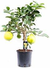 Hellogreen Plante d'intérieur - Lipo aux