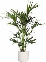 Hellogreen Plante d'intérieur - Paume Kentia