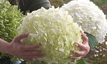 Hortensias à fleurs : 4