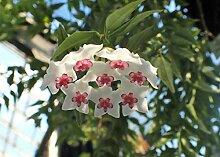 Hoya Lanceolata SSP Bella - Fleur de cire