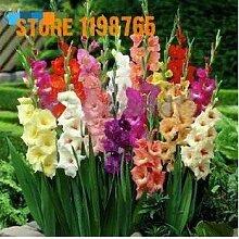 . Jardin 200 Pcs glaïeul Fleur, Plante, (Pas