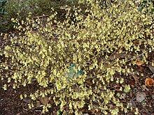 Jean Huchet CORYLOPSIS pauciflora C3L Arbuste