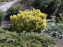 Jean Huchet Euonymus Japonica Bravo C3L Arbuste
