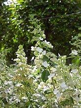 Jean Huchet Hydrangea paniculata Kyushu C3L Arbuste