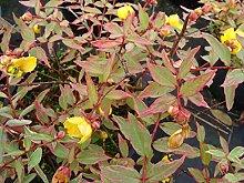 Jean Huchet Hypericum moserianum Tricolor C3L