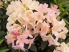 Jean Huchet Rhododendron yakushimanum Percy