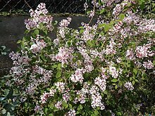 Jean Huchet Syringa microphylla Superba C3L Arbuste