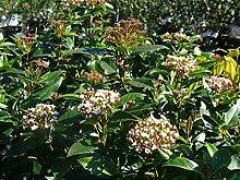 Jean Huchet Viburnum tinus C3L Arbuste