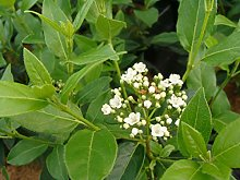 Jean Huchet Viburnum tinus French White C3L Arbuste