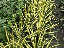 Jean Huchet Yucca Golden Sword C3L Arbuste