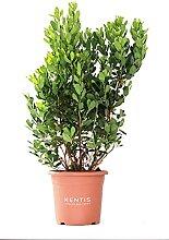 KENTIS - Arbutus Unedo Arbousier - Plantes