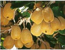Kiwi autofertile - arbre Fruitier- 10-20 cm