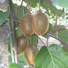 Kiwi autofertile - arbre fruitier- croissance