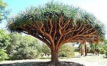 l'arbre de sang de dragon, Dracaena draco rare